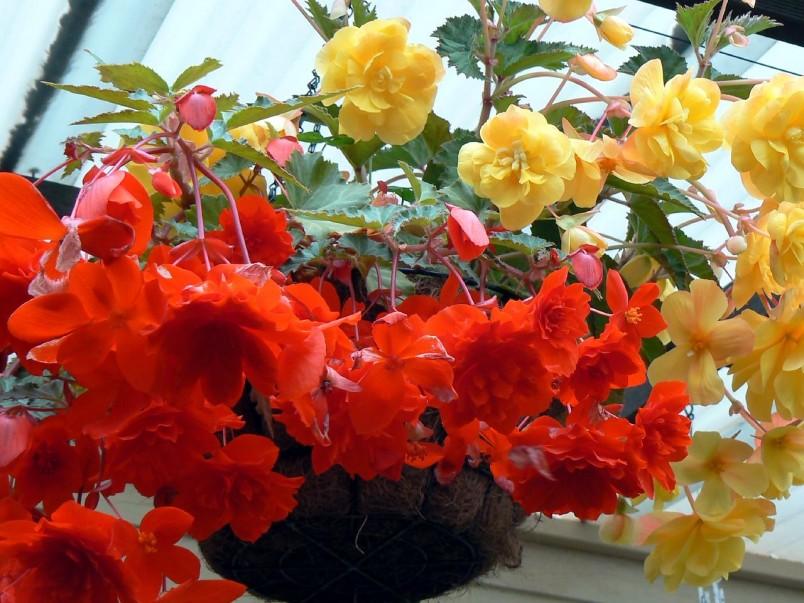 Бегония является ярким и интересным растением. Заведя его дома вы не почувствуете особых хлопот в уходе и обретете хорошее настроение.