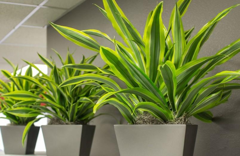 Драцена подойдет для любого интерьера. Растение неприхотливо, не требует особого ухода и хорошо очищает воздух.