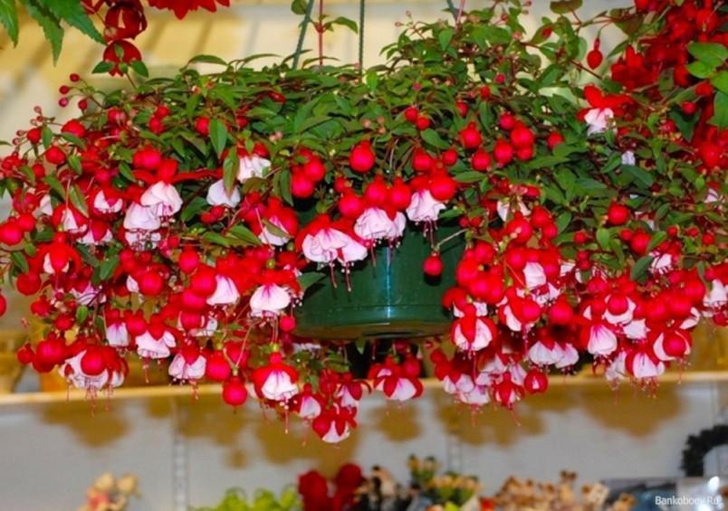 Комнатная фуксия является очень красивым растением, уход за которым достаточно прост.
