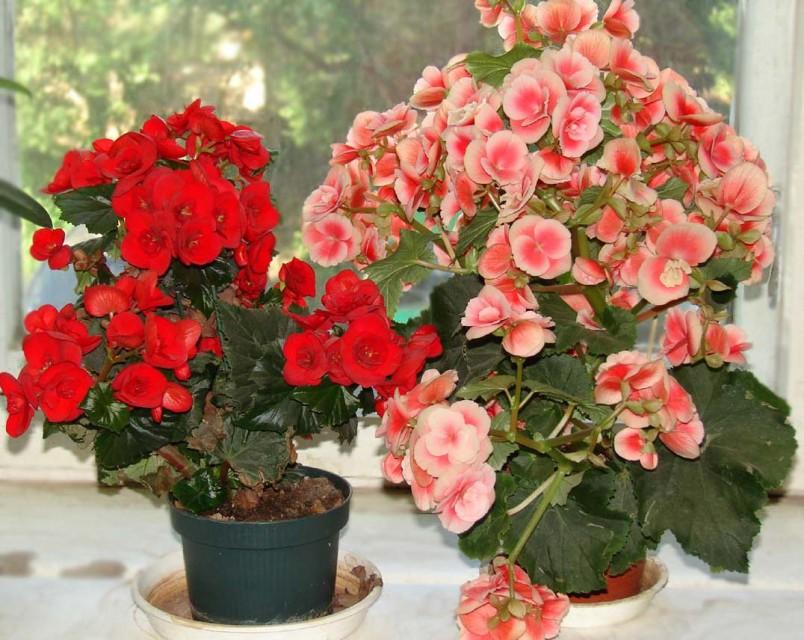 Пересадка и выращивание комнатной бегонии не затруднит вас. Главное не сильно обрезать корни при пересадке, тогда растение будет развиваться и красиво цвести.