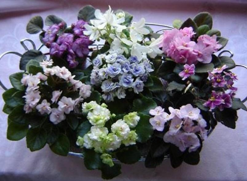 Яркий свет и прямые солнечные лучи - это залог нормального развития и цветения фиалки.