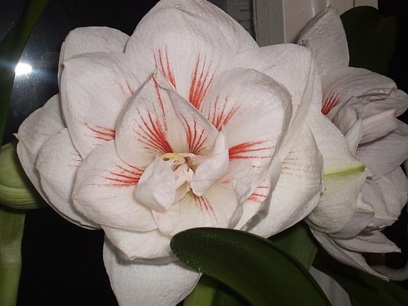 После того как растение перестанет цвести, рекомендуется убрать горшок в темное место.