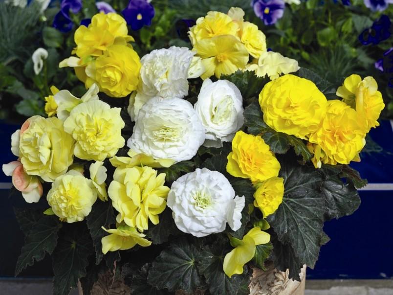 Для сохранения яркой окраски растению необходимо хорошее освещение.