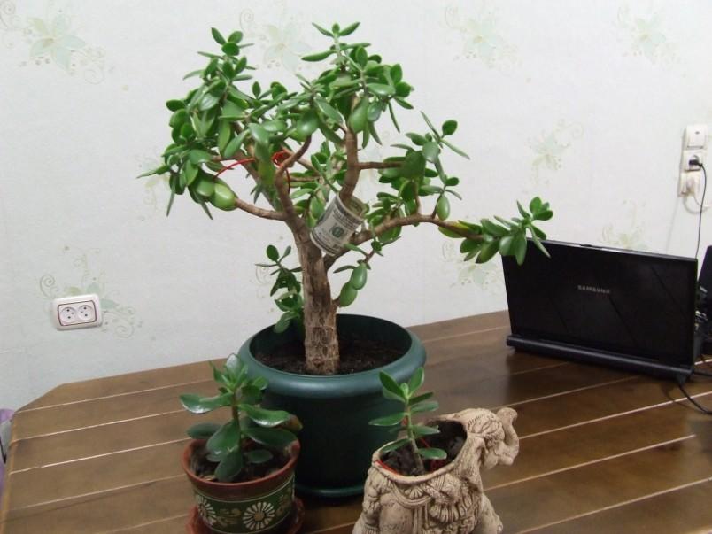 Дерево размножается достаточно легко, пересадите маленький отросток в отдельный горшок и дело сделано.