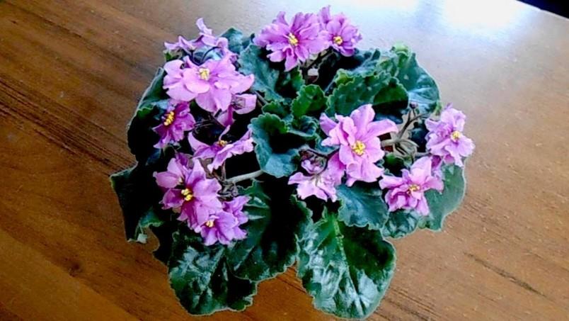 Фиалку, как и любой другой цветок можно размножать и пересаживать.