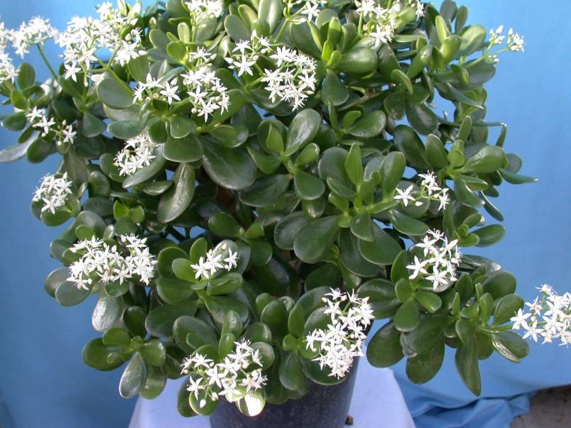 Как правило денежное дерево цветет только через десять лет после посадки.