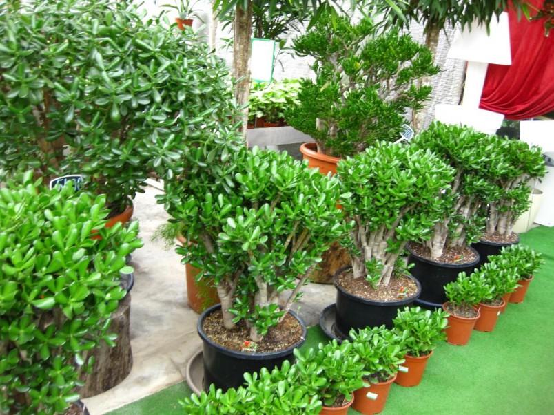 Денежное дерево является универсальным цветком, который подойдет под любой интерьер.