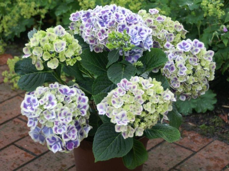 В летнее время полив должен быть частым и обильным, весной и осенью – умеренным, зимой, во время периода покоя – символическим.
