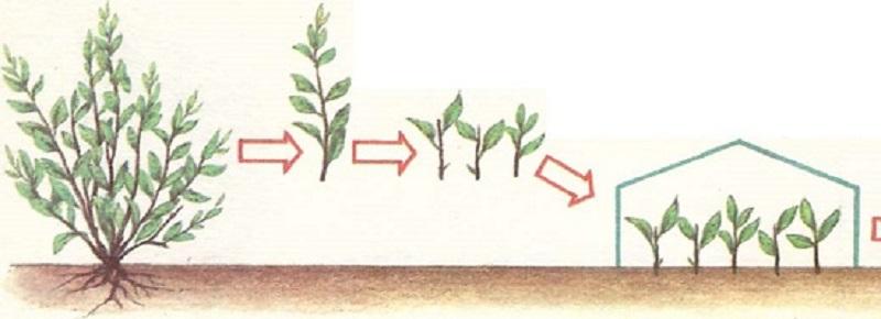 При посадке саженца необходимо установить его в лунку и расправить корни, а затем обильно полить водой.