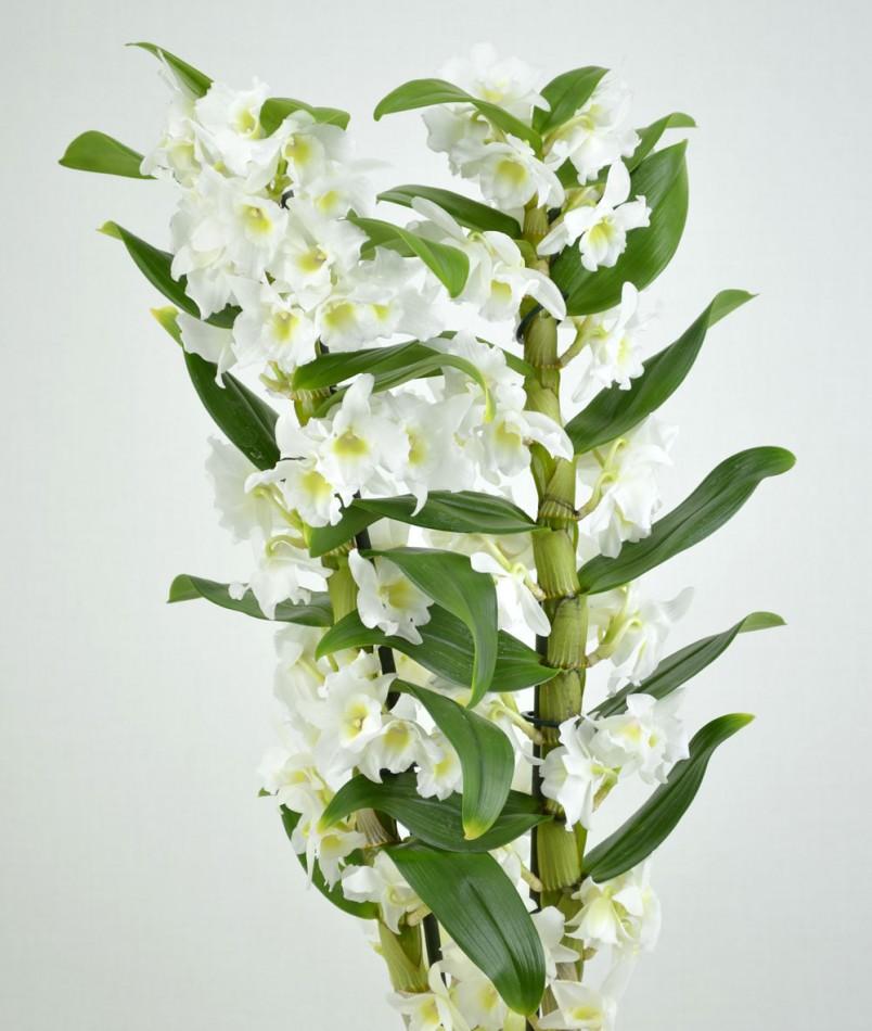 Очень редко можно встретить экземпляры, которые укореняются в обычной почве, что, впрочем, не мешает выращивать орхидею дендробиум в домашних условиях.