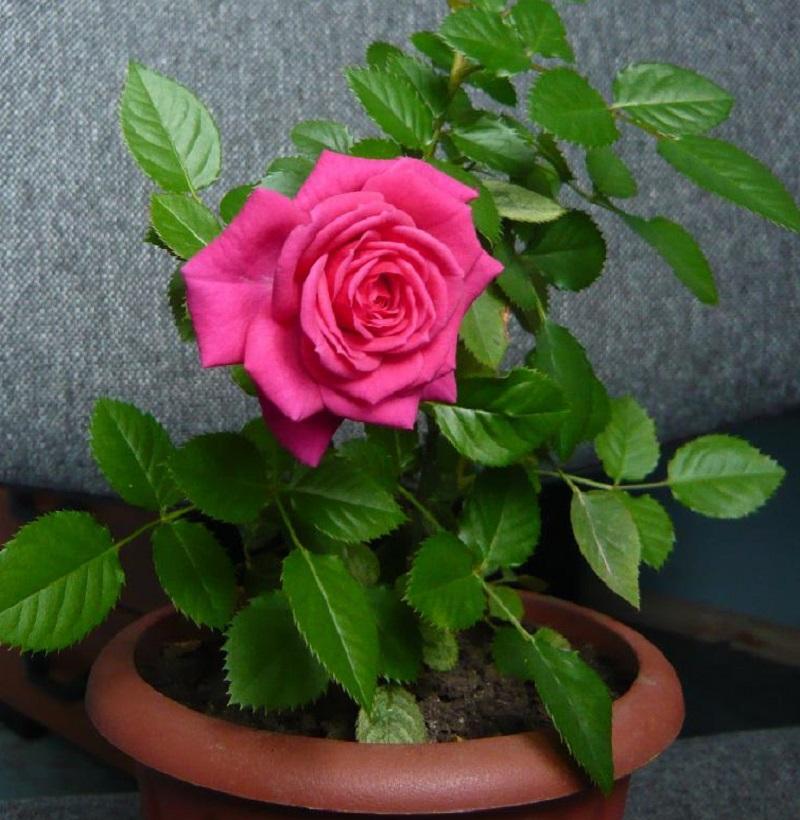 По осени комнатную розу нужно обрезать, чтобы по весне ее цветение было обильнее.