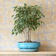 Фикус Бенджамина является одним из самых популярных растений комнатного цветоводства.