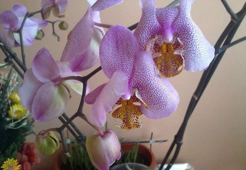 Какую группу орхидеи вы бы не выбрали при правильном уходе она всегда будет радовать вас своей красотой.