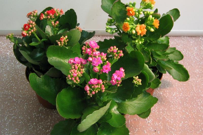 Каланхоэ бывает декоративным и лечебным. Декоративное каланхоэ в лечебных целях использовать запрещено.