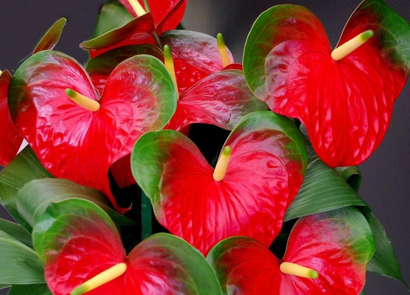 Предупредить появление вредителей на листьях антуриума можно, протирая их время от времени или обмывая.