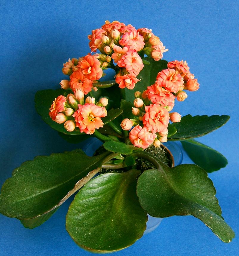 Каланхоэ очень неприхотливое в уходе растение. но и очень чувствительное к вредителям.