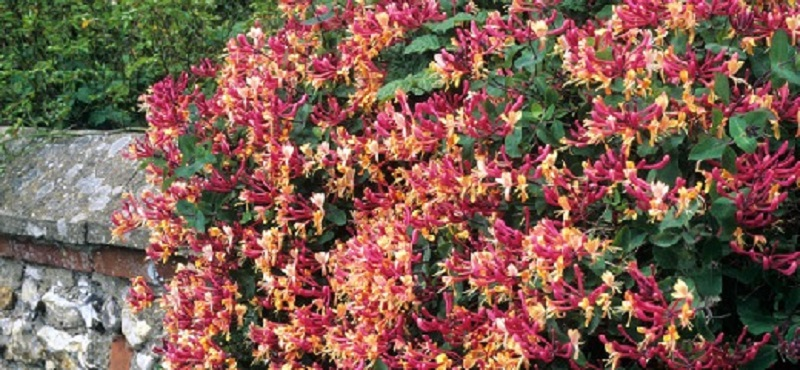 Пример живой изгороди из декоративной жимолости. Красиво, не правда ли?