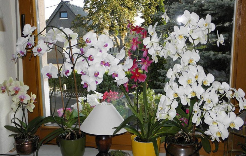 Орхидея легко приспосабливается к любым условиям обитания, если горшок с цветком поставить в поддон наполненный водой.