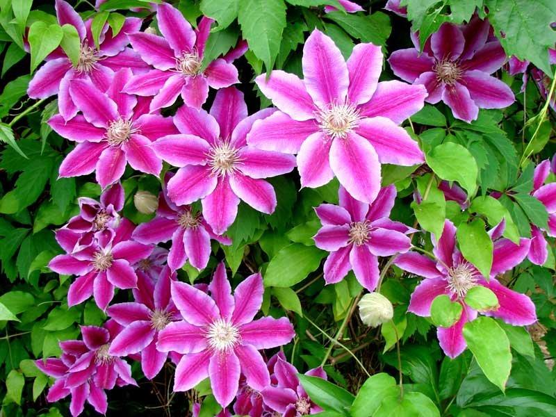 Комнатная азалия будет вам очень благодарна, если вы будете ее опрыскивать не менее двух раз в день, особенно в опрыскивании она нуждается во время цветения.