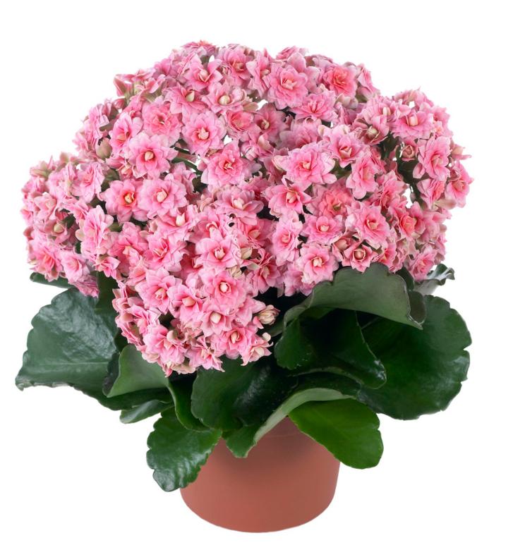 После периода цветения каланхоэ нуждается в подрезке верхушки. Этим вы обеспечите растению более активное цветение весной.