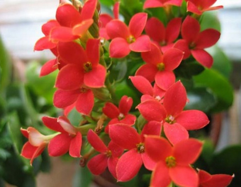 Зимой каланхоэ лучше убрать с подоконника в нейтральное место. Оптимальная температура в зимнее время для этого цветка 13-16 градусов.