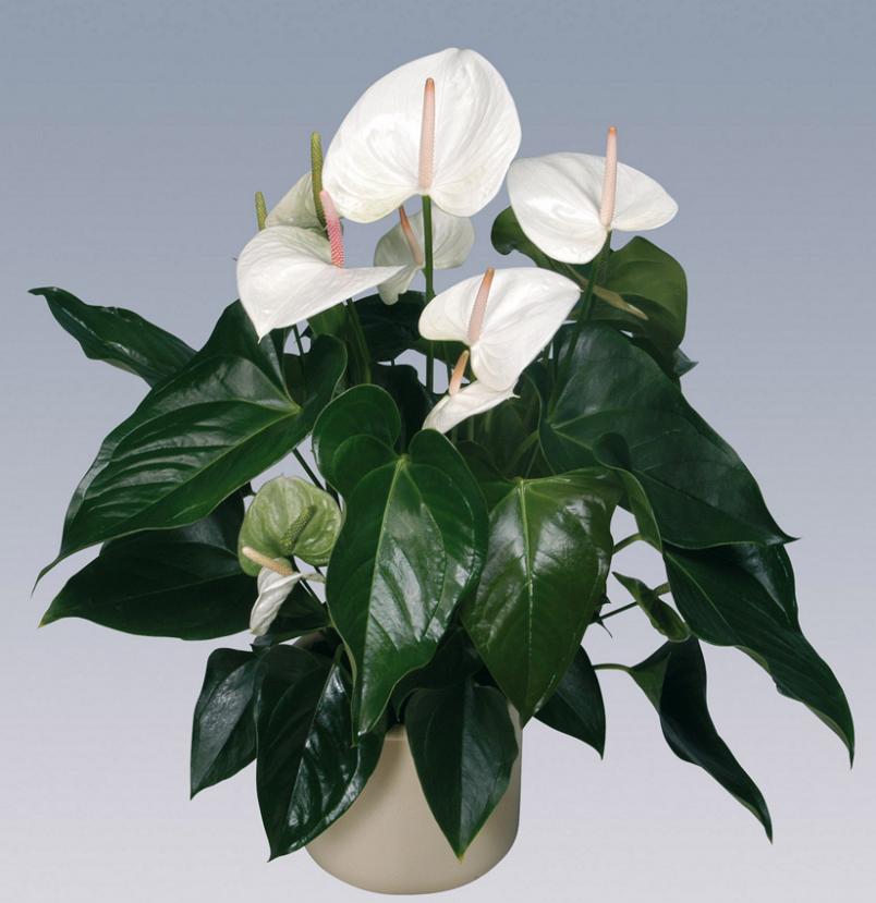 Для обильного цветения антуриуму необходима полутень и частое опрыскивание.
