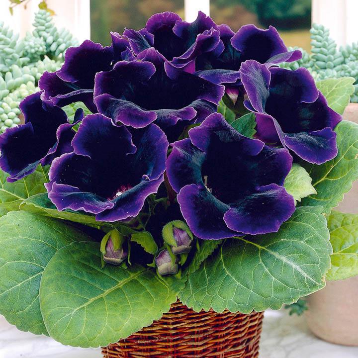 Поливают глоксинию в вегетационный период в поддон или верхним поливом, стараясь не намочить ни листьев, ни цветов.