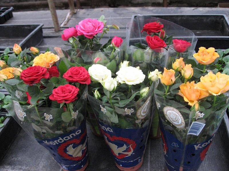 Не спешите снимать упаковку с только что купленной комнатной розы. Дайте ей время адаптироваться к новым условиям, а упаковка создаст розе необходимый микроклимат.