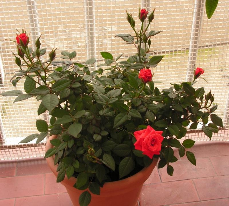 Роза не любит частых пересадок, от этого она может заболеть.