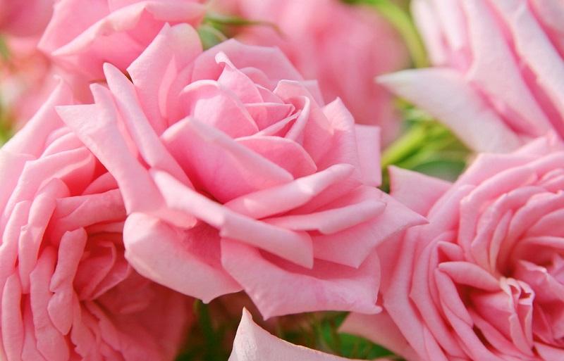 Лето самый сложный период для розы и неправильный уход может привести к гибели растения.