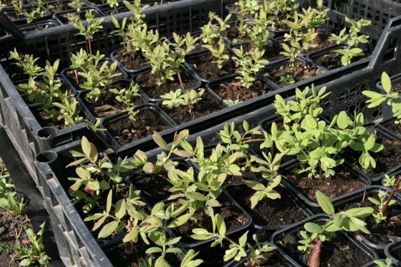 Основной способ размножения жимолости — вегетативный метод зеленого черенкования.