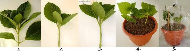 Укоренение происходит за три-четыре недели, затем черенки рассаживают в индивидуальные горшочки диаметром 7-9 см.