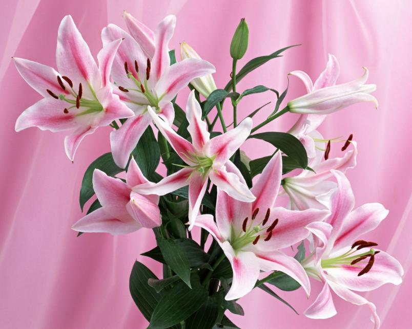 Домашняя лилия – достаточно капризное растение, оно требует заботы и внимания к себе.
