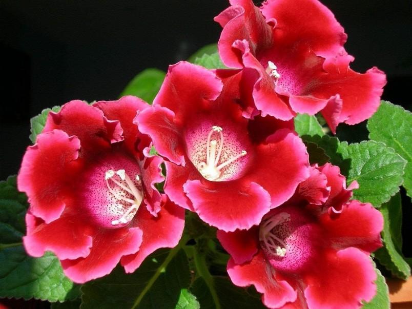 Комнатная глоксиния – клубневый многолетник с коротким стеблем и сочными бархатистыми листьями насыщенного зеленого цвета.