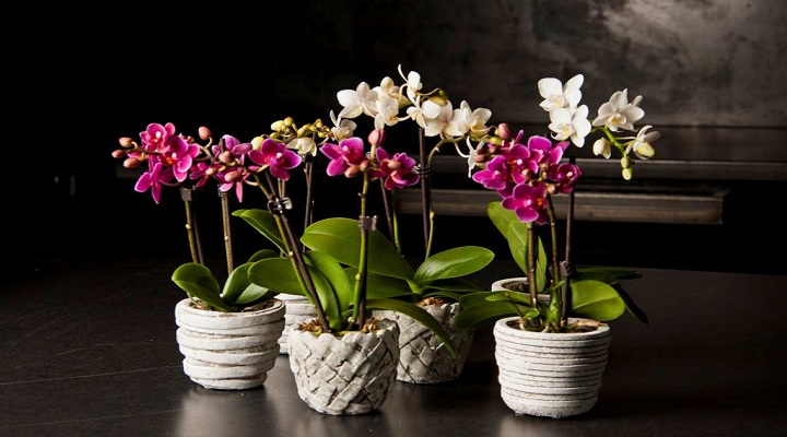 При несоблюдении температурного режима вида орхидеи листья цветка могу стать дряблыми и потерять свой блеск.