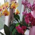 Попадание воды при поливе в розетки листьев орхидеи может привести к загниванию растения.