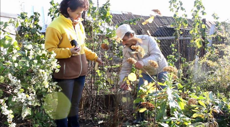 Если вы решили подрезать кустарник гортензии осенью, тогда делать это следует аккуратно.