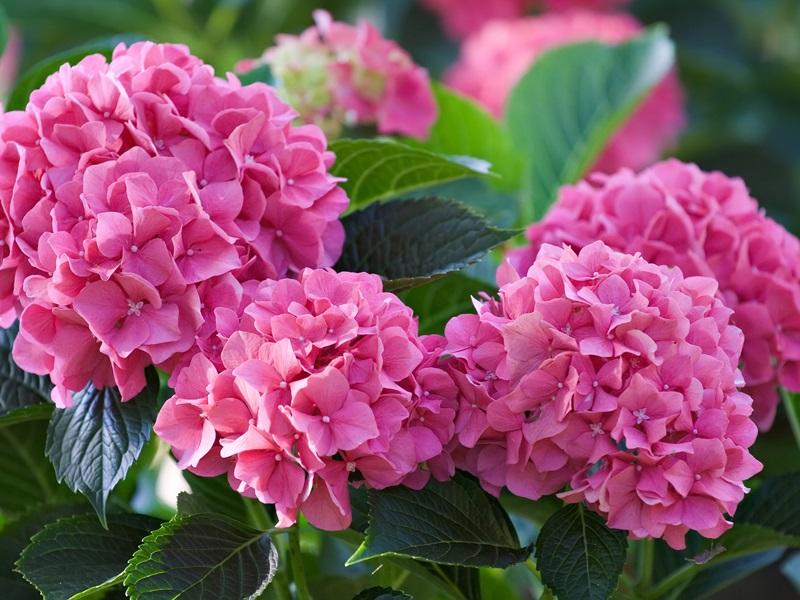 Основательно обрезать кустарник не стоит, лучше делать это постепенно в период с августа по октябрь, тогда для растения это не будет таким шоком.