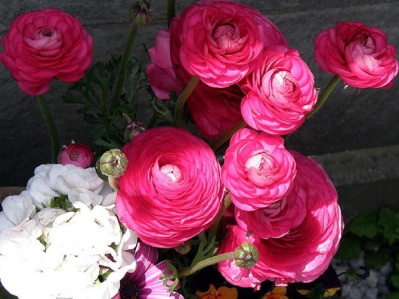 Ранункулюс выращивают как на приусадебном участке, так и в домашних условиях, в обычных цветочных горшках, украшая ими жилые комнаты, балконы и террасы.