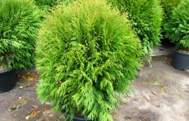 Туя — прекрасное растение, которое украсит не только сады и городские парки, но и интерьер квартиры.