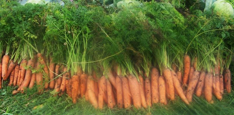 Непосредственно перед закладкой на хранение, переберите морковь и отложите для длительного хранения только здоровые и неповрежденные корнеплоды.