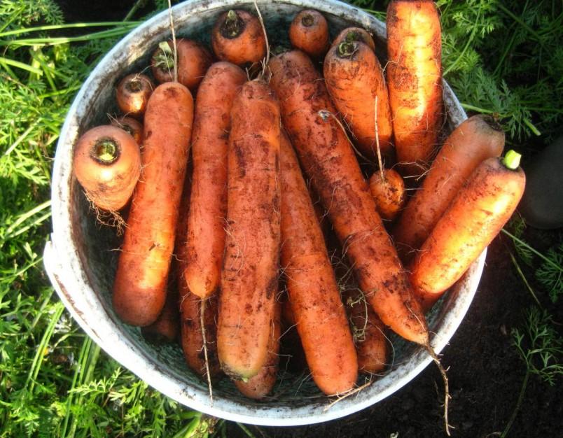 Правильное хранение моркови начинается с момента их уборки.