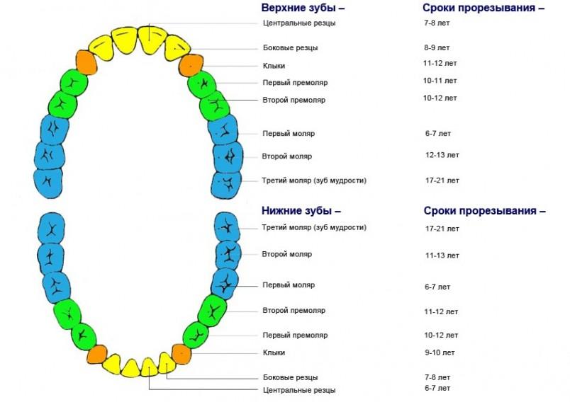 Схематическое изображение порядка смены молочных зубов коренными.