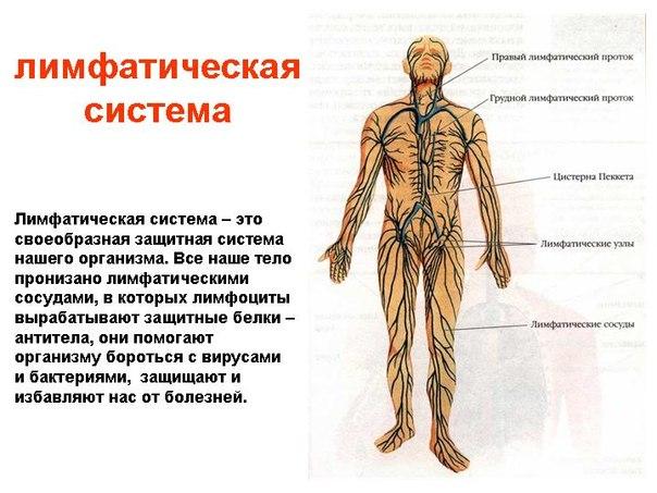 """Лимфатиеская система - живые русла """"живой воды""""."""