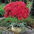 Для обильного цветения необходимо регулярно обрезать и прищипывать азалию.