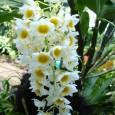 Эта орхидея наиболее комфортно чувствует себя при смешанном температурном режиме.