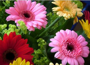 Гербера – это красивоцветущее многолетнее сложноцветное растение.